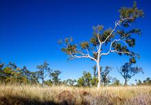 Large Gum Tree At Porcupine Go...