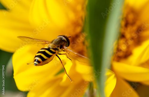 Slika na platnu Close-up of a bee flies on a yellow flower.