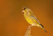 European Greenfinch, Chloris Chloris, Male Sitting On Wood In Autumn Nature. Yellow Bird Looking On Tree With Orange Background. Little Color Animal Watching On Trunk In Fall.