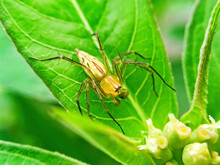 A Little Yellow Spider  Standing On A Green Leaf  On A Natural Background.