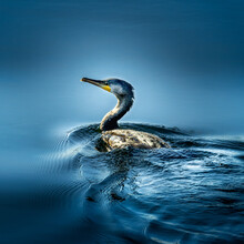 Cormorant Swimming In Calm Blue Water At Sunrise