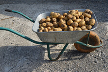 Closeup Of A Pile Of Newly Harvested Potatoes In A Wheelbarrow