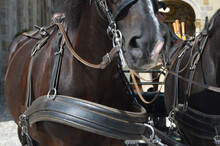 Closeup Of A Horse With Leather Strap Harness And Bridle Pulling A Carriage For A Tourist Ride