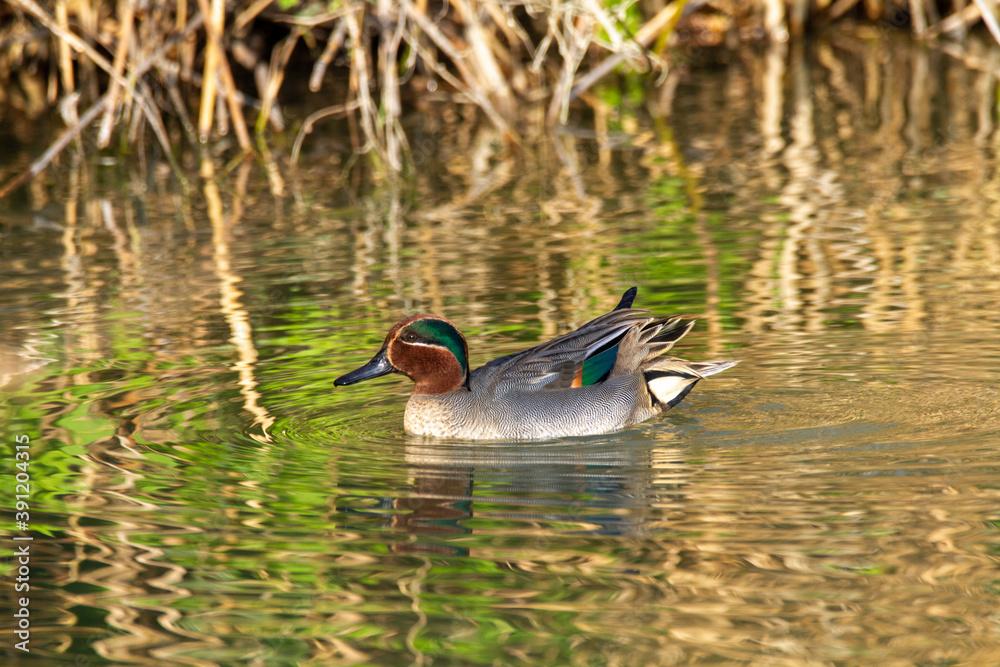 Fototapeta teal duck marsh bird italy europe