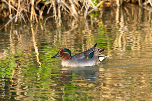 Tela teal duck marsh bird italy europe