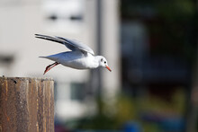 On To New Shores - A Seagull Takes Off From A Wooden Pole In The Harbor