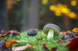 canvas print picture - Detail of boletus in amazing colorful autumnal forest