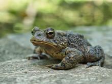 Closeup Shot Of Oak Toad On A Rock