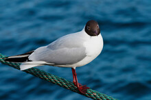 Black-headed Gull Perched On A Rope