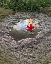 Red Rose In The Water