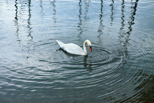 Elegant White Swan In A Calm Lake With Waves In Concentric Circles