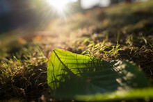 Autumn Leave Detail In Grass I...