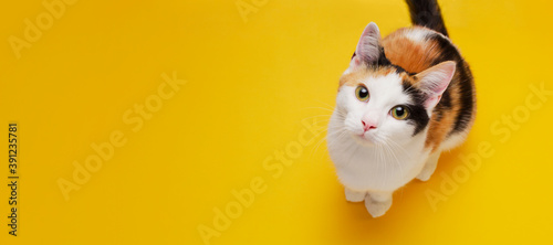 Cute shorthair tricolor kitten sits on a bright yellow background. Banner about pets. Creativ consept for animal shop. Top view, copy space © ratatosk