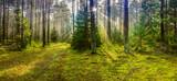 Fototapeta  - mglisty poranek w lesie na Warmii