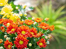 Chrysanthemum, Sometimes Called Mums Or Chrysanths, Are Flowering Plants  In The Family Asteraceae. It's The Favorite Flower For The Month Of November.