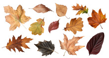 Set Of Different Autumn Leaves...