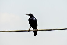 Crow On Branch, Photo As A Background