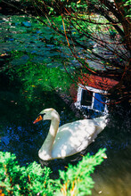 Beautiful White Swan On The Surface Of The Water, In The Water Reflection Of The House And Windows, In The Frame Of Tree Branches And Foliage