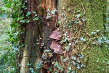 Bracket Fungus Mushrooms Growing On Dead Wood In Devon Forest UK