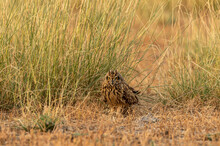 Short Eared Owl Or Asio Flammeus Portrait Perched On Ground At Grassland Of Tal Chhapar Sanctuary Rajasthan India