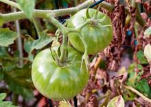 Close Up Of Fresh Green Tomato...