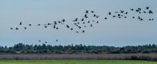 A Flock Of Cranes Flies Over T...