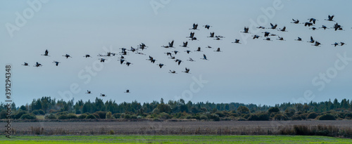 Slika na platnu A flock of cranes flies over the field in search of food in last days before leaving for warmer climes