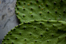 Close Up Of Cactus Leaves