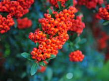 Pyracantha Orange Berries With Green Leaves,