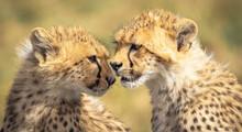 Closeup Shot Of Two Adorable Cheetah Cubs