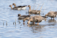Greater White-fronted Goose (A...
