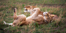 Closeup Of Two Playful Lions L...