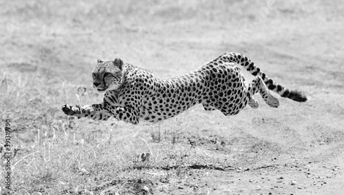 Fotografiet Grayscale shot of a cheetah in nature