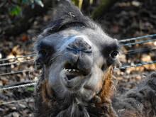 Bactarian Camel Portrait Face ...