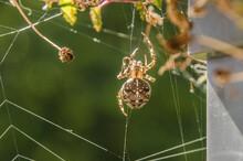 Eine Kreuzspinne In Ihrem Netz