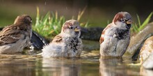 Three Sparrows Bathe In Water Bird's Waterhole. Czech Republic. Europe.