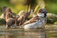 Two Sparrows Bathe In Water Bi...