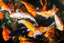 Traditional Koi Carps In The P...