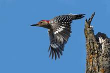 Male Red-bellied Woodpecker I...