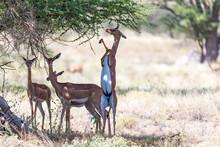 Some Gerenuk In The Kenyan Sav...