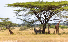 Giraffes And A Gravy Zebra Under The Crown Of A Shady Tree