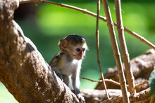 A Little Monkey Sits And Looks Very Curious