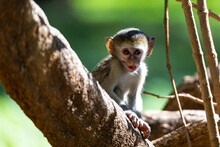 A Little Monkey Sits And Looks...