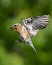 An Eastern Bluebird With Insect