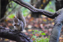 The Grey Squirrel Provides An ...