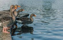 Bandada De Patos Grises Y Pico Naranja A Punto De Saltar Juntos Al Lago De Hyde Park En Londres