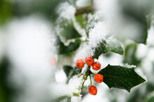 Holly Berries Covered In Show