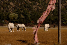 White Horses Grazing In Himalaya's Farmland On A Sunny Day
