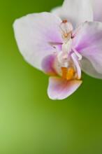 Orchid Mantis (Hymenopus Coronatus) On Green Background