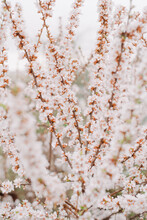 Blooming Cherry Tree At A Shallow Depth Of Field